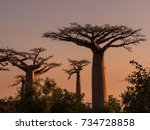 baobab trees at sunset | Shutterstock . vector #734728858