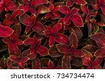 The Coleus Plants With Red...