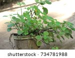 tulsi medicinal plant