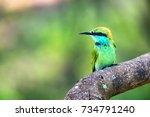 juvenile green bee eater or... | Shutterstock . vector #734791240