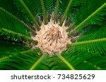 Japanese Palm Tree. Closeup At...