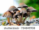 fungi project   clustered bonnet | Shutterstock . vector #734849938
