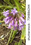 Small photo of Purple Agapanthus Flowers