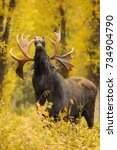 A Bull Moose Smells The Air For ...