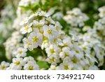 blooming bush of spirea white... | Shutterstock . vector #734921740