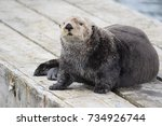 Curious Sea Otter Sitting On A...
