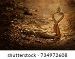 snake fight. indian rat snake ... | Shutterstock . vector #734972608