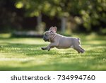 Stock photo a french bulldog puppy is running in the park 734994760
