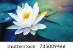 White Lotus With Yellow Pollen...