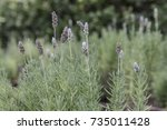 french lavender plant with... | Shutterstock . vector #735011428