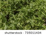 green lush basil growing with... | Shutterstock . vector #735011434