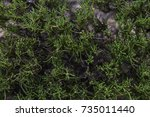holy flax lush green bush plant ... | Shutterstock . vector #735011440