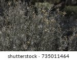 curry plant dense bush leaves... | Shutterstock . vector #735011464