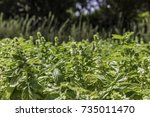 green lush basil growing with... | Shutterstock . vector #735011470