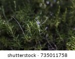 creeping rosemary herb bush... | Shutterstock . vector #735011758