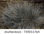 blue fescue evergreen plant on... | Shutterstock . vector #735011764