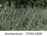 blue lagoon rosemary with blue... | Shutterstock . vector #735011800