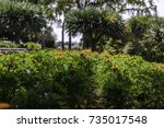 colorful marigolds garden bed... | Shutterstock . vector #735017548