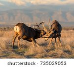 Mule Deer Bucks Fighting For...