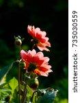 Two Salmon Peach Dahlia Flower...