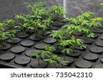 young fresh cut cannabis clones ...   Shutterstock . vector #735042310
