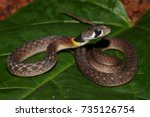 a juvenile red necked keelback... | Shutterstock . vector #735126754