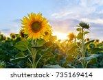 beautiful sunflowers in the... | Shutterstock . vector #735169414