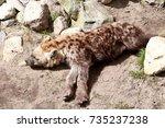 spotted hyena | Shutterstock . vector #735237238