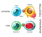 t cell. activation and lysis of ... | Shutterstock .eps vector #735257704
