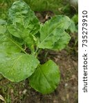 Small photo of Kailan or asian kale - vegetables fresh from garden
