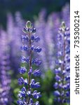 close up of a blooming lupine... | Shutterstock . vector #735300214