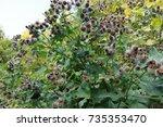 lesser burdock arctium minus ... | Shutterstock . vector #735353470