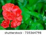 Blooming Red Geranium Flowers...