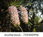 "wild orchid ""chang kra""  ... | Shutterstock . vector #735400996"