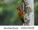 Greater flameback woodpecker or  Large golden-backed woodpecker (Chrysocolaptes guttacristatus) sticking tongue out eating termites,rainy day.Woodpecker eating termites helps pest control in nature.
