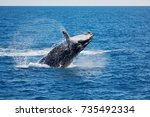 in australia a free whale in...   Shutterstock . vector #735492334