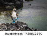 blue footed boobies at the lava ... | Shutterstock . vector #735511990