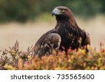 Golden Eagle Looking Around. A...