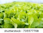 Lettuce Farm. Green Lettuce...