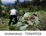 harvesting agave | Shutterstock . vector #735645526