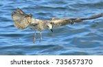 flying  juvenile kelp gull ... | Shutterstock . vector #735657370