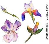 wildflower iris flower in a... | Shutterstock . vector #735675190