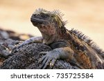 Marine Iguana On Santiago...