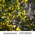 Small photo of Acacia cultriformis, the knife-leaf , dogtooth wattle, half-moon or golden-glow wattle