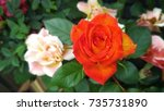 Blooming Orange Rose In The...