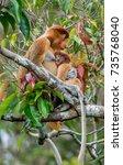 proboscis monkey baby sucks its ... | Shutterstock . vector #735768040