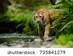 amur tiger walking in river... | Shutterstock . vector #735841279