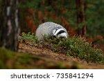 badger in forest  animal nature ... | Shutterstock . vector #735841294