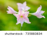 beautiful pink flowers in the... | Shutterstock . vector #735883834
