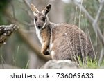 this is a joey yellow tailed... | Shutterstock . vector #736069633